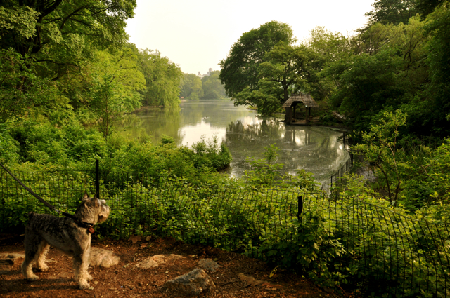 a lake in central park with a dog looking out