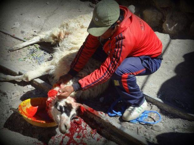 llama sacrifice