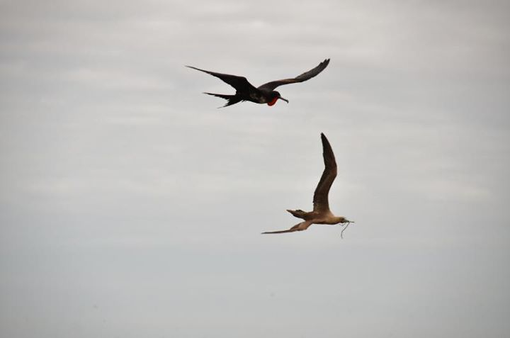 a frigate bird chasing another bird. Frigates steal food from others.