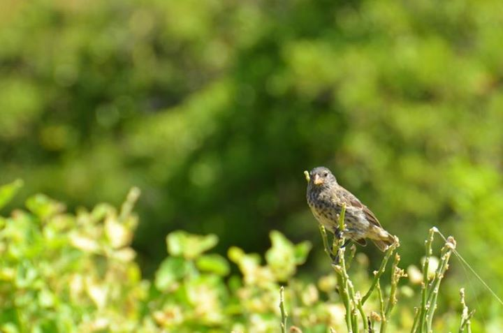 Darwin Finch