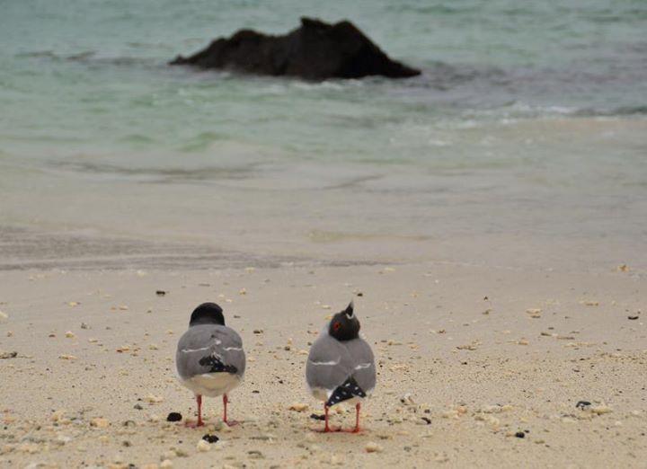 Galapagos doves