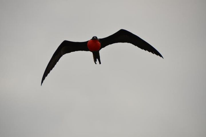 Male Frigate Bird