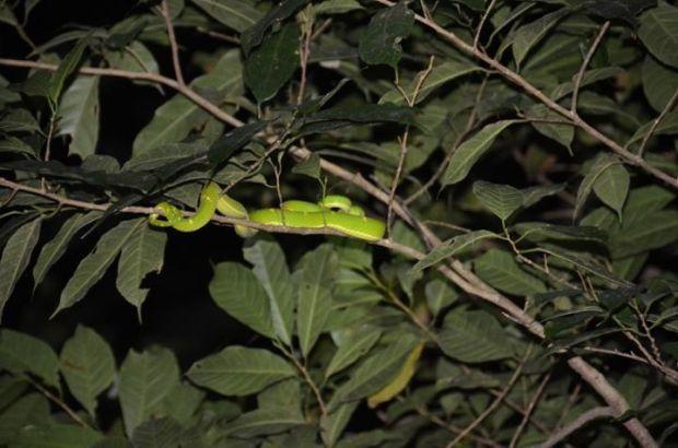 a viper