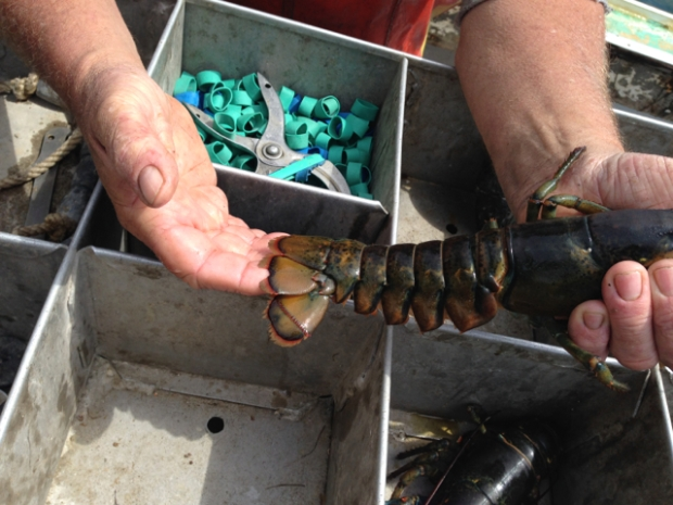 v-notched lobster tail